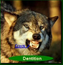 dentition-loup